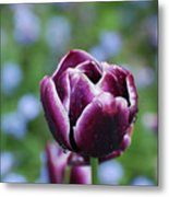 Garden Tulip With Rain Drops On A Spring Day Metal Print