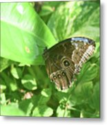 Garden With A Blue Morpho Butterfly With Wings Closed Metal Print