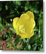 Garden With Beautiful Flowering Yellow Tulip In Bloom Metal Print
