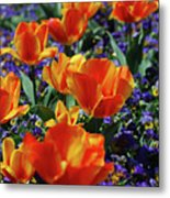 Garden With Blooming Yellow And Red Tulip Blossoms Metal Print