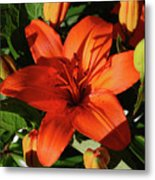 Garden With Lily Buds And A Blooming Orange Lily Metal Print