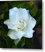 Gardenia 5 Metal Print