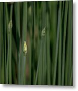 Garlic Chive Season Metal Print
