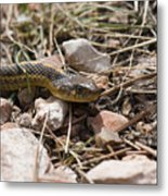 Garter Snake On The Trail In The Pike National Forest Of Colorad Metal Print