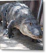 Gator On The Move Metal Print