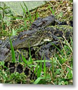Gators 11 Metal Print