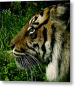Gaze Of The Tiger Metal Print