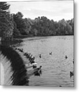 Ducks And Canada Geese On The Charles River Metal Print