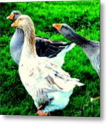 A Couple Of Friendly Geese And One Goose Ready For A Fight  Metal Print by Hilde Widerberg