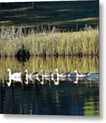 Geese Mother And Young Metal Print