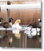 Geese Swans And Ducks Metal Print
