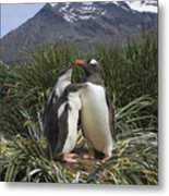 Gentoo Penguin And Young Chicks Metal Print by Suzi Eszterhas