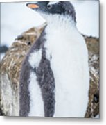 Gentoo Penguin With Turned Head On Snow Metal Print