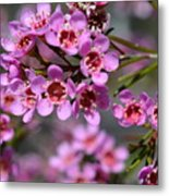 Geraldton Wax Flowers, Cwa Pink - Australian Native Flower Metal Print