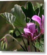 Geranium Blossom Metal Print