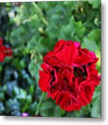 Geranium Flower - Red Metal Print