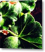Geranium Leaves Metal Print