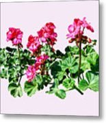 Geraniums In A Row Metal Print