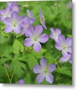 Geraniums Spring Wildflowers Metal Print
