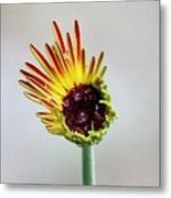 Gerbera Beginnings Metal Print