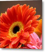 Gerbera Daisies - Luminous Metal Print