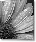 Gerbera Daisy After The Rain 2 Metal Print