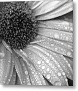 Gerbera Daisy After The Rain 3 Metal Print