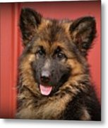 German Shepherd Puppy - Queena Metal Print