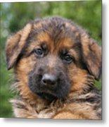 German Shepherd Puppy II Metal Print