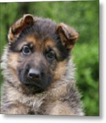 German Shepherd Puppy IIi Metal Print by Sandy Keeton