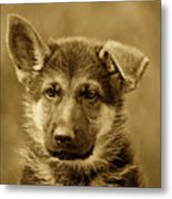 German Shepherd Puppy In Sepia Metal Print