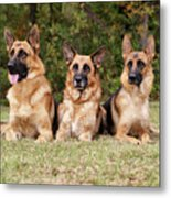 German Shepherds - Family Portrait Metal Print
