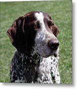German Shorthaired Pointer  Metal Print