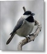 Getting Ready To Crack - Black-capped Chickadee Metal Print