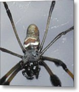 Getting To Know A Golden Orb Weaver Metal Print