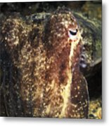 Giant Cuttlefish Camouflage Metal Print