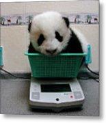 Giant Panda Ailuropoda Melanoleuca Baby Metal Print