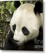 Giant Panda At Rest Metal Print