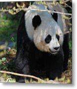 Giant Panda Bear Creeping Under A Tree Branch Metal Print