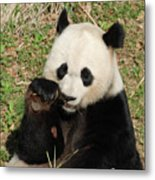 Giant Panda Bear Holding On To Bamboo While Eating Metal Print