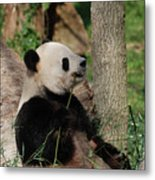 Giant Panda Bear Sitting Up Leaning Against A Tree Metal Print