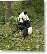 Giant Panda Eating Bamboo Metal Print