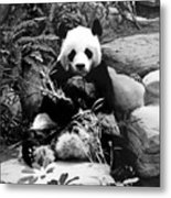 Giant Panda In Black And White Metal Print