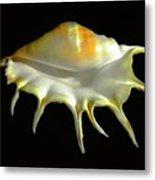 Giant Spider Conch Seashell Lambis Truncata Metal Print