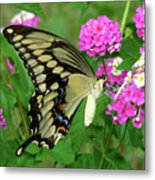 Giant Swallowtail Butterfly  IIi Metal Print