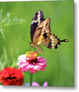 Giant Swallowtail Butterfly On Pink Zinnia Metal Print