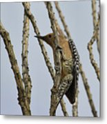 Gila Woodpecker Metal Print