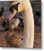 Ginger Swan Metal Print