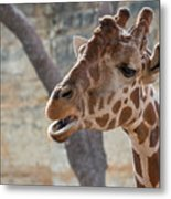 Girafe Head About To Grab Food Metal Print