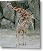 Giraffe And Baby  Metal Print